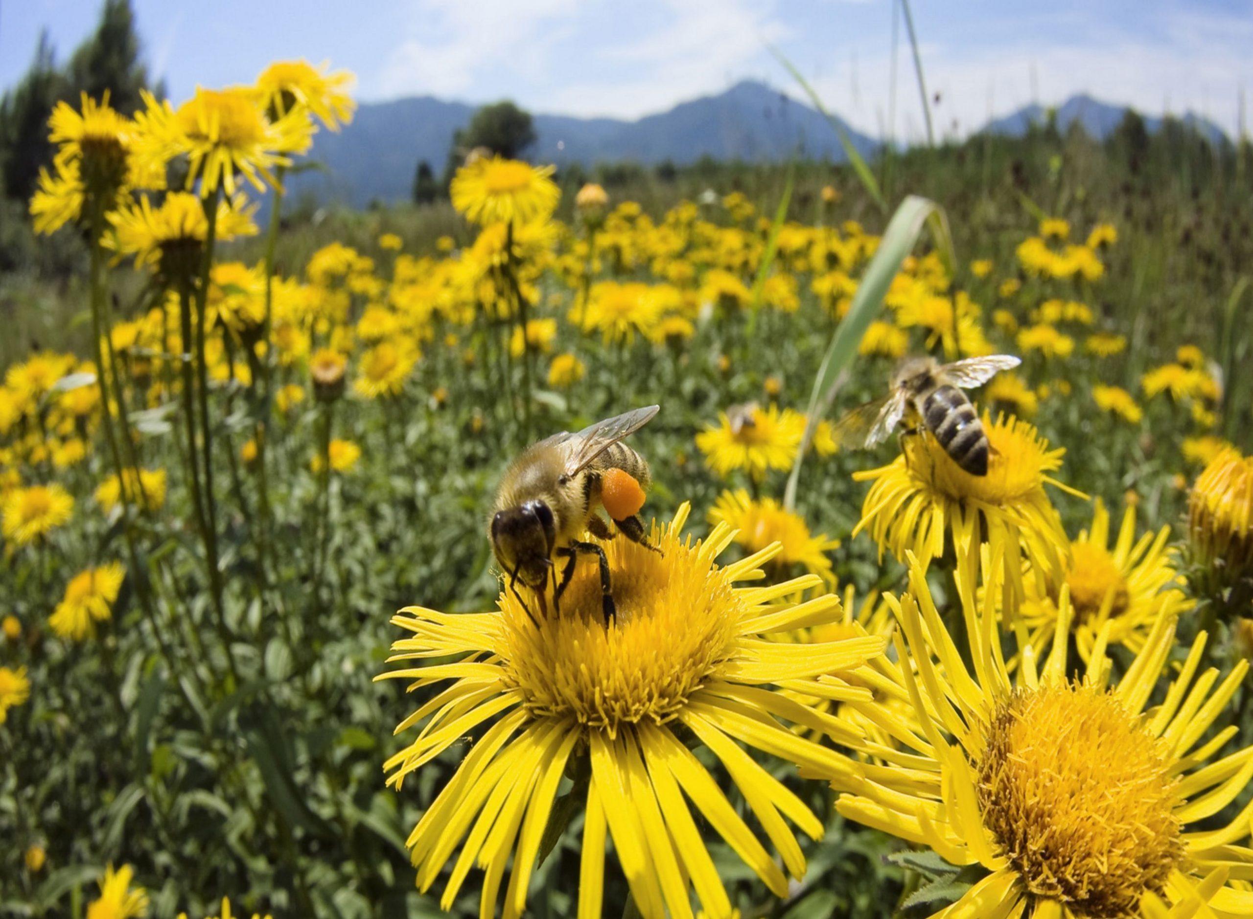 Desconexión – Especies clave, abejas – ¿Por qué las abejas están desapareciendo?